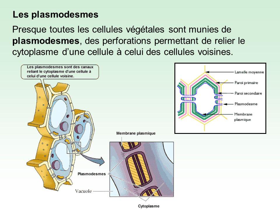 Les plasmodesmes Presque toutes les cellules végétales sont munies de plasmodesmes, des perforations permettant de relier le cytoplasme dune cellule à celui des cellules voisines.