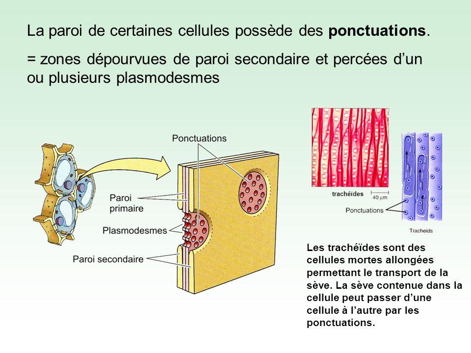 La paroi de certaines cellules possède des ponctuations.