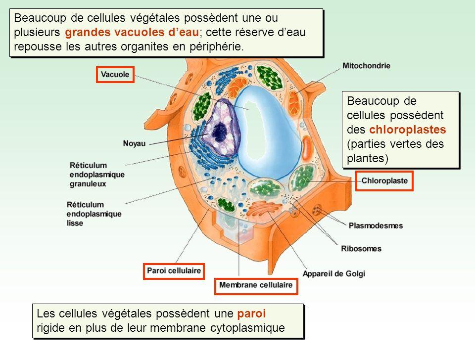 Pour tout le reste, on retrouve les mêmes structures que dans la cellule animale