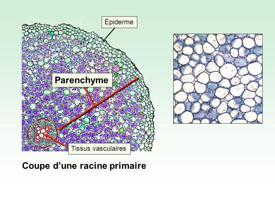 Coupe dune racine primaire Épiderme Tissus vasculaires Parenchyme