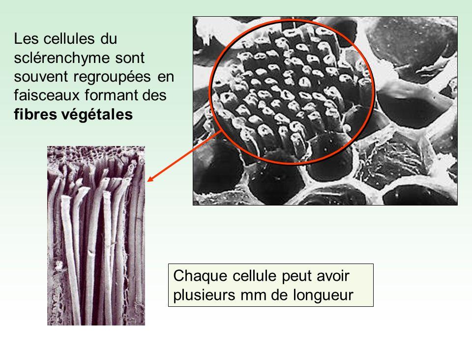Les cellules du sclérenchyme sont souvent regroupées en faisceaux formant des fibres végétales Chaque cellule peut avoir plusieurs mm de longueur