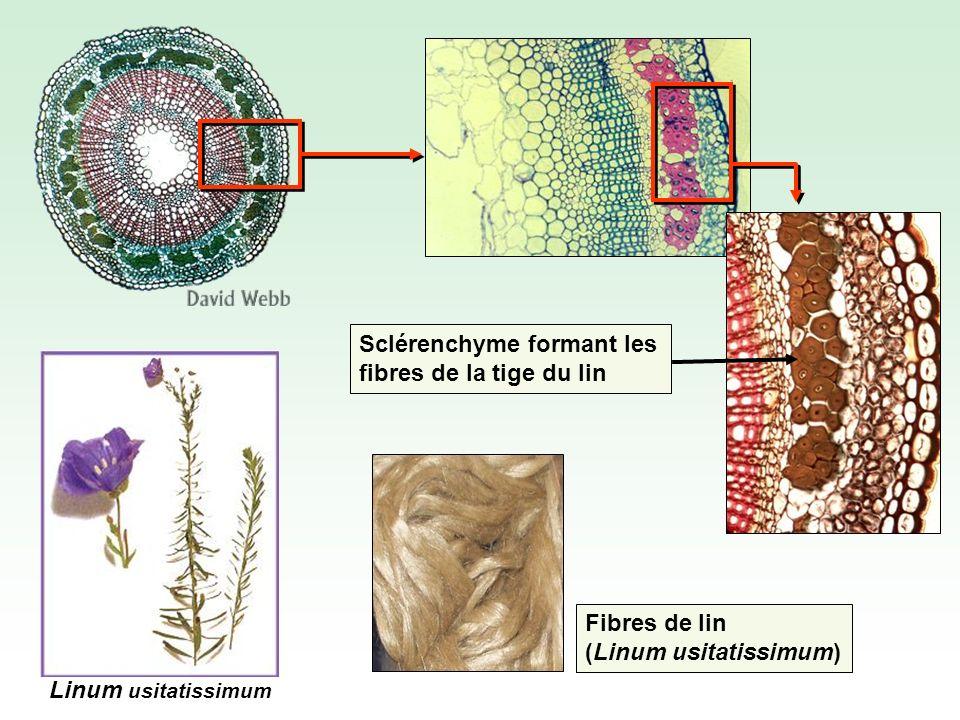 Fibres de lin (Linum usitatissimum) Linum usitatissimum Sclérenchyme formant les fibres de la tige du lin