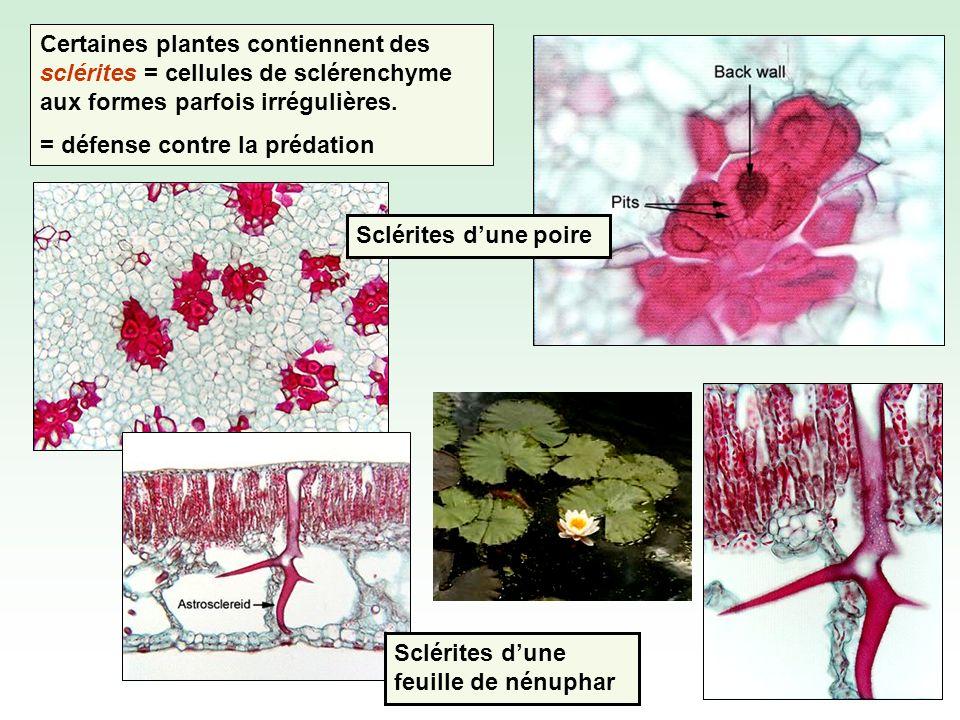 Sclérites dune feuille de nénuphar Certaines plantes contiennent des sclérites = cellules de sclérenchyme aux formes parfois irrégulières.