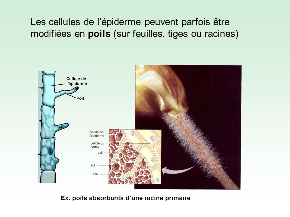 Quelle est lutilité de ces poils .Cellules épidermiques modifiées formant des poils.