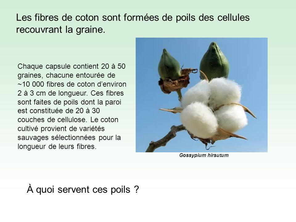 Les fibres de coton sont formées de poils des cellules recouvrant la graine.
