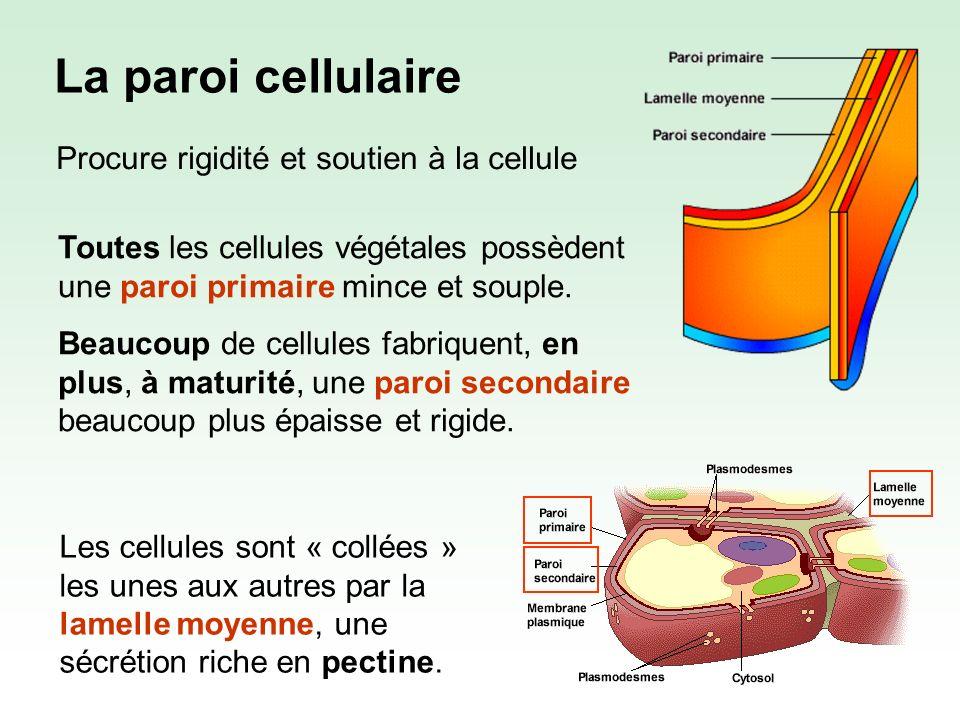 La paroi primaire est formée de : Cellulose (~ 25%) Hémicellulose (~25%) Pectine (~35%) Protéines (~5%) Lhémicellulose et la pectine sont des polysaccharides ayant une texture gluante.