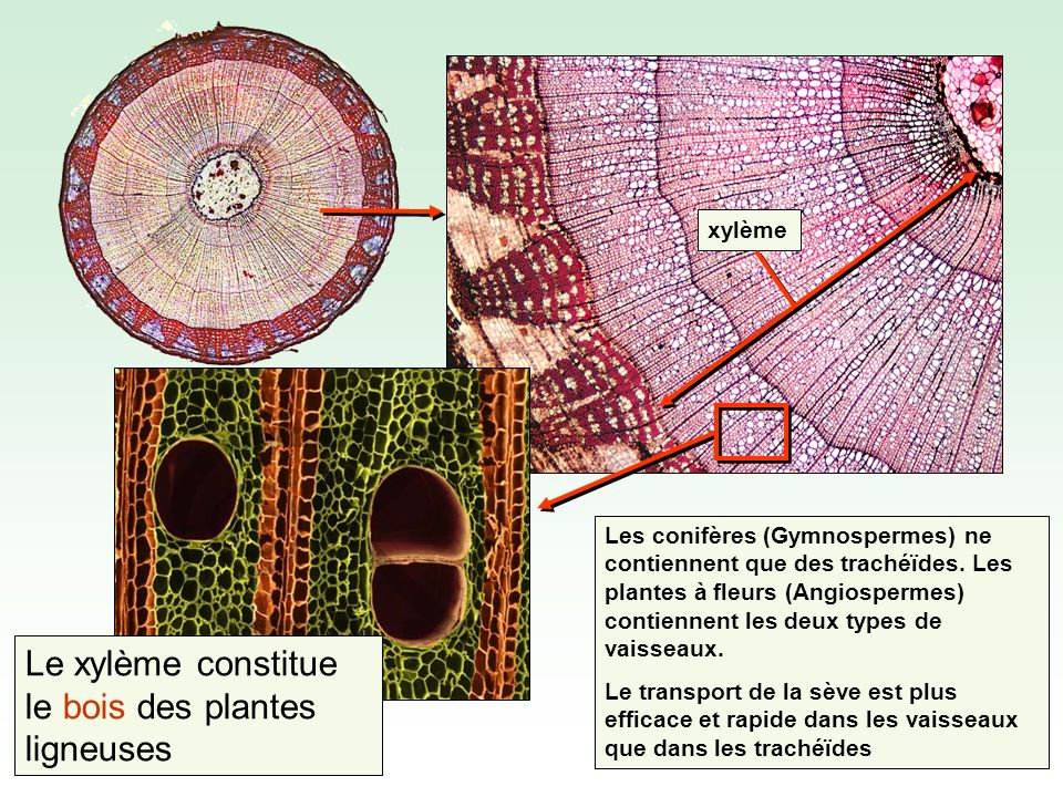 xylème Les conifères (Gymnospermes) ne contiennent que des trachéïdes.