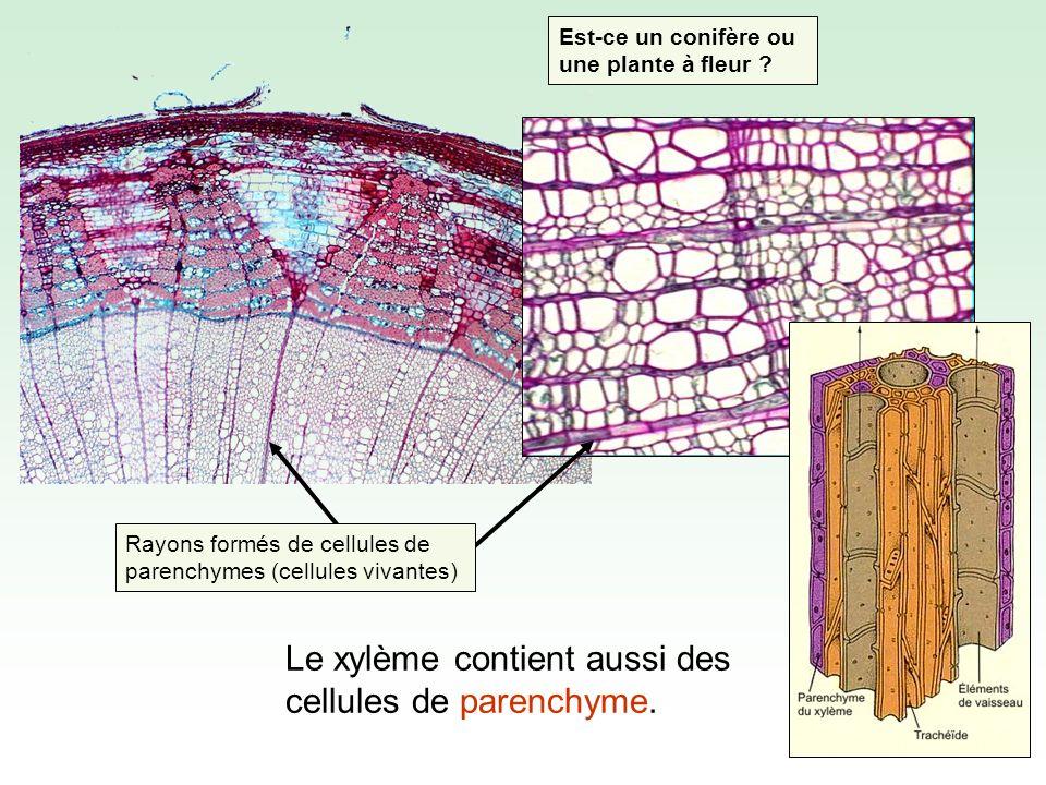 Le xylème contient aussi des cellules de parenchyme.