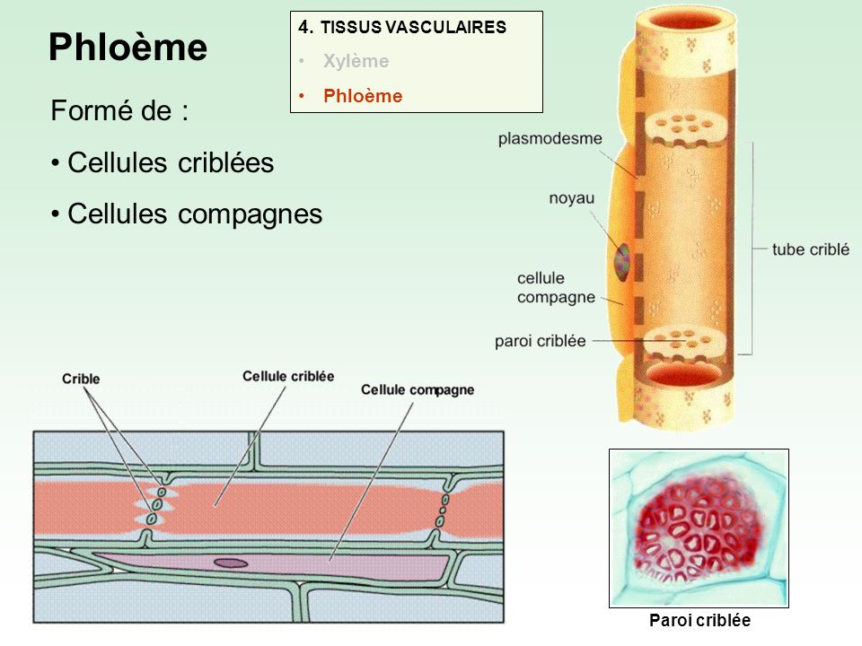 Cellules criblées : Vivantes (mais ne vivent généralement pas plus dun an) Dépourvues de noyau Parois transversales « criblées » : permet la diffusion de substances dune cellule à lautre Besoins assurés par les cellules compagnes (qui, elles, possèdent un noyau)