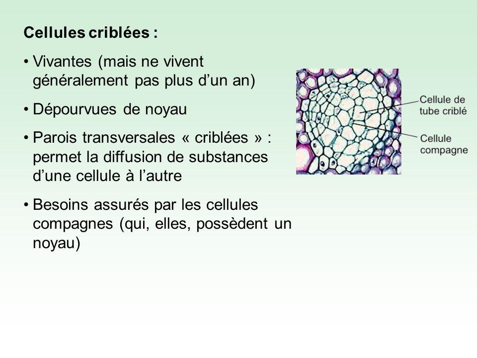 Cellule compagne Cellule criblée Phloème