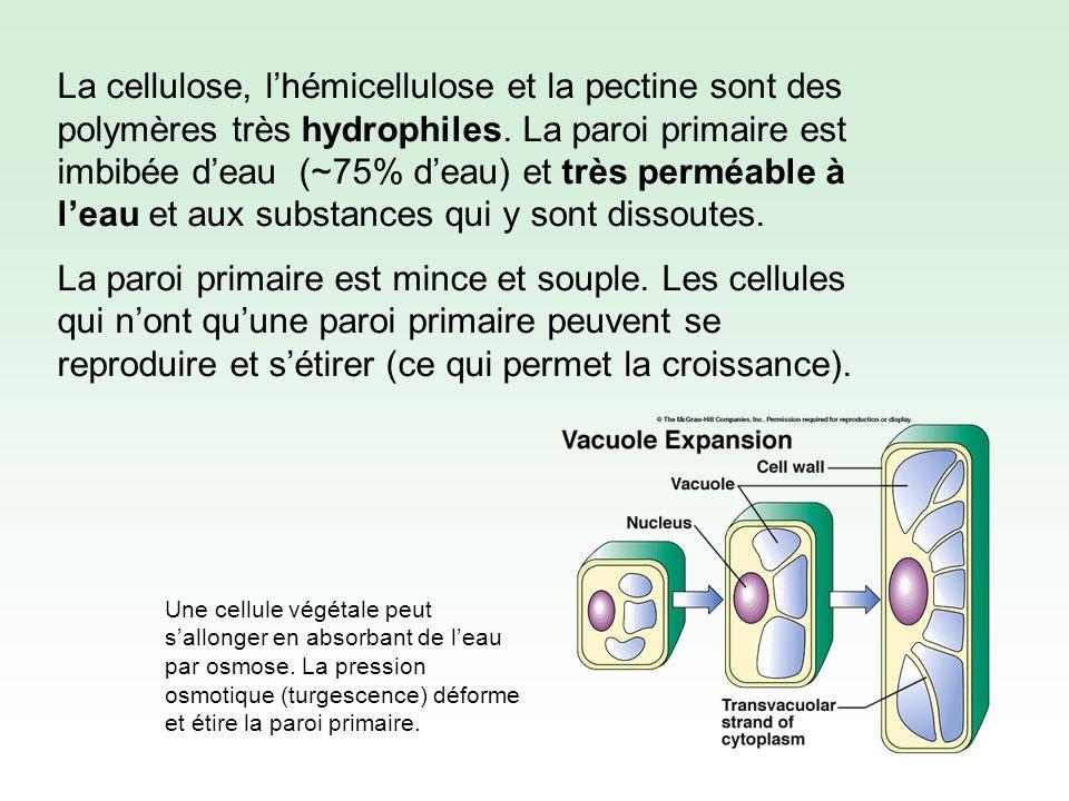 La cellulose, lhémicellulose et la pectine sont des polymères très hydrophiles.