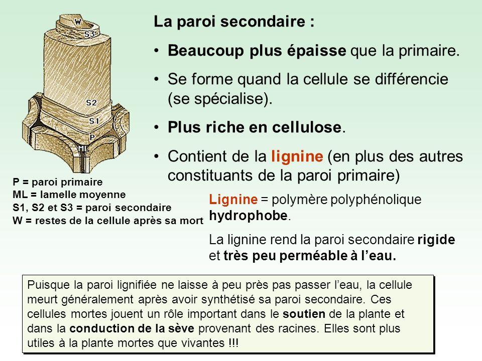 P = paroi primaire ML = lamelle moyenne S1, S2 et S3 = paroi secondaire W = restes de la cellule après sa mort La paroi secondaire : Beaucoup plus épaisse que la primaire.