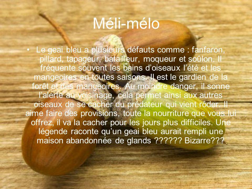 Méli-mélo Le geai bleu a plusieurs défauts comme : fanfaron, pillard, tapageur, batailleur, moqueur et soûlon. Il fréquente souvent les bains doiseaux