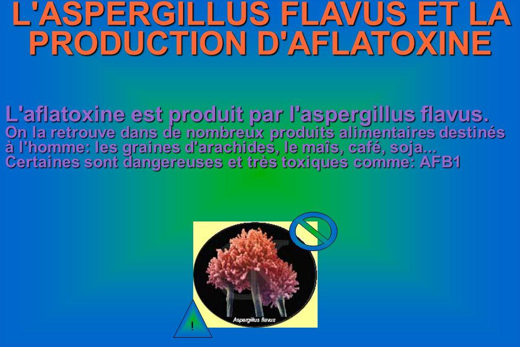 L'ASPERGILLUS FLAVUS ET LA PRODUCTION D'AFLATOXINE L'aflatoxine est produit par l'aspergillus flavus. On la retrouve dans de nombreux produits aliment