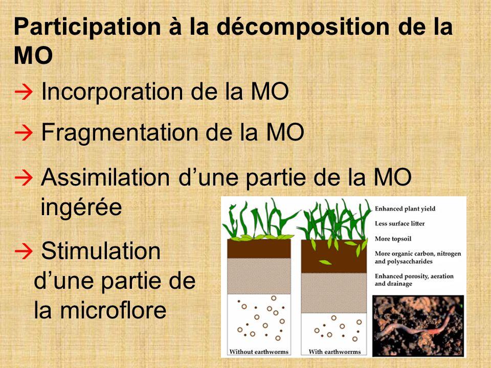 27 Incorporation de la MO Fragmentation de la MO Assimilation dune partie de la MO ingérée Stimulation dune partie de la microflore Participation à la