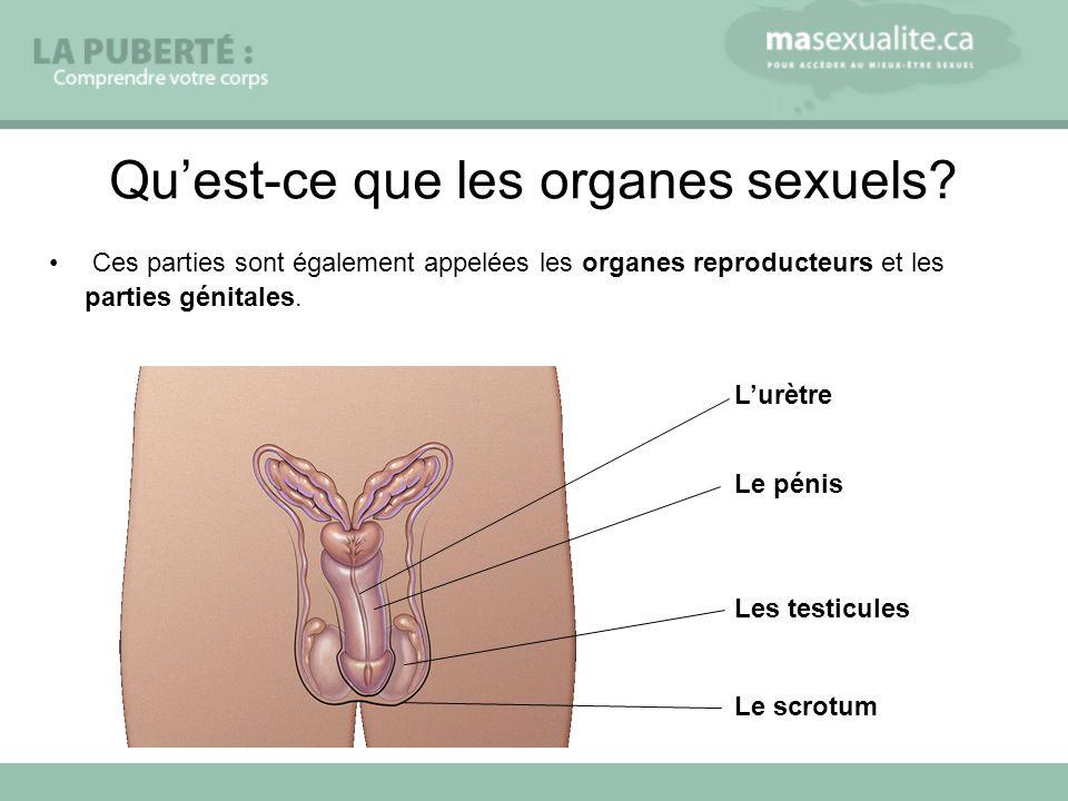Ces parties sont également appelées les organes reproducteurs et les parties génitales.