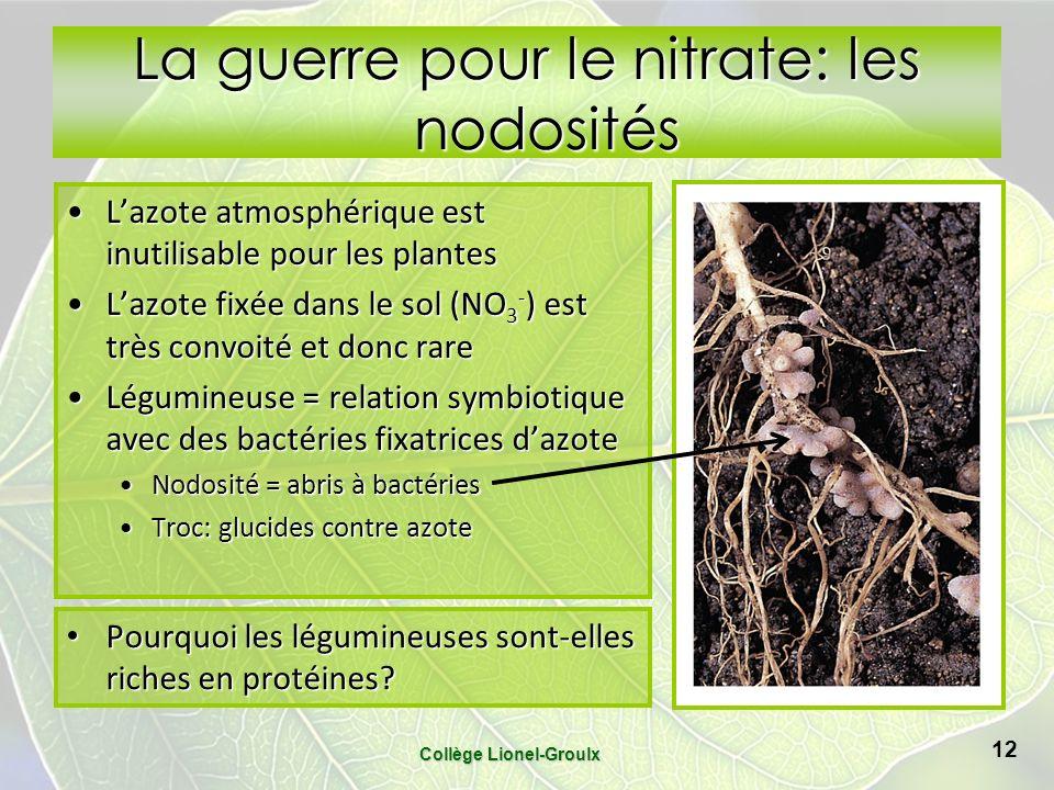 La guerre pour le nitrate: les nodosités Lazote atmosphérique est inutilisable pour les plantesLazote atmosphérique est inutilisable pour les plantes Lazote fixée dans le sol (NO 3 - ) est très convoité et donc rareLazote fixée dans le sol (NO 3 - ) est très convoité et donc rare Légumineuse = relation symbiotique avec des bactéries fixatrices dazoteLégumineuse = relation symbiotique avec des bactéries fixatrices dazote Nodosité = abris à bactériesNodosité = abris à bactéries Troc: glucides contre azoteTroc: glucides contre azote Collège Lionel-Groulx 12 Pourquoi les légumineuses sont-elles riches en protéines.