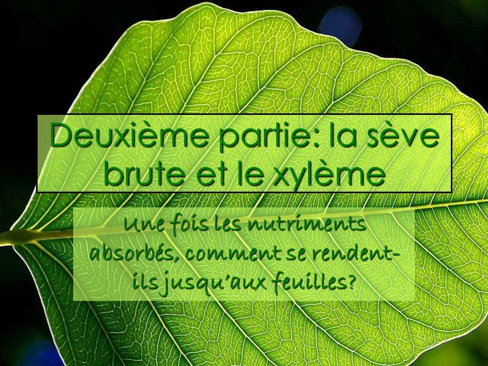 Deuxième partie: la sève brute et le xylème Une fois les nutriments absorbés, comment se rendent- ils jusquaux feuilles?