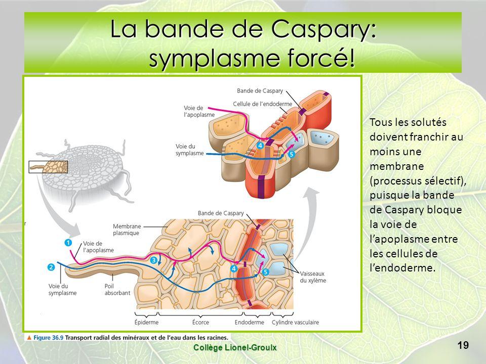 La bande de Caspary: symplasme forcé.