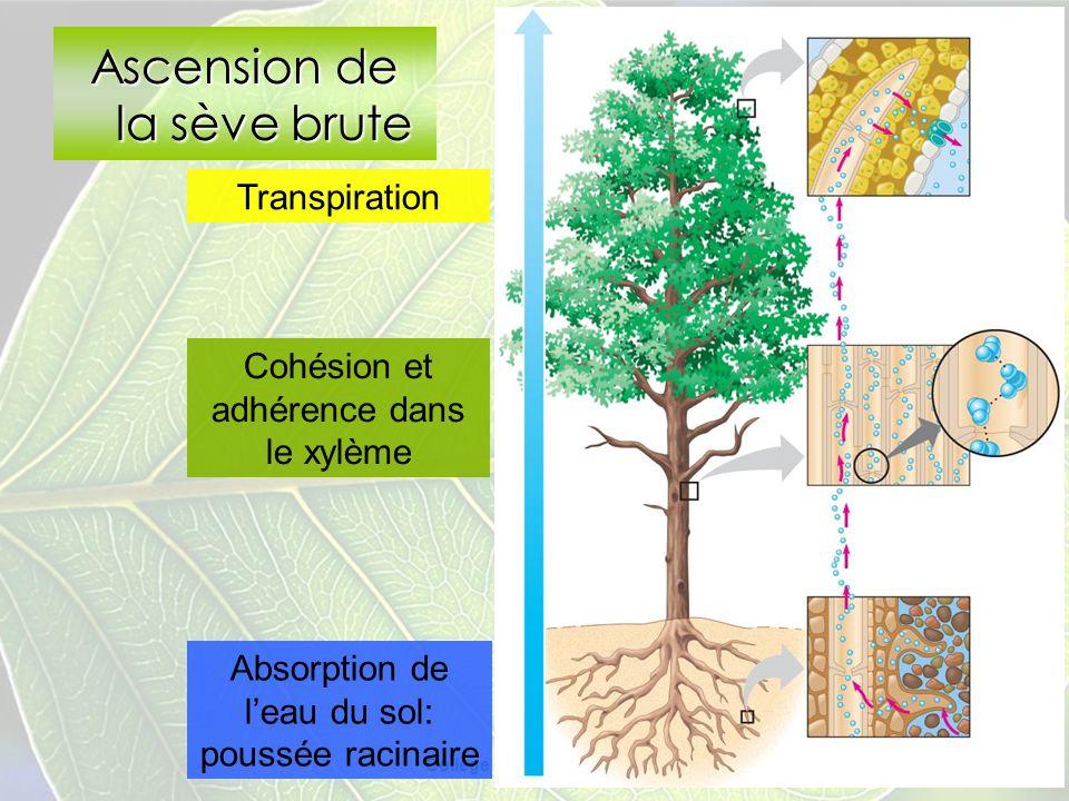 Collège Lionel-Groulx 21 Ascension de la sève brute Transpiration Absorption de leau du sol: poussée racinaire Cohésion et adhérence dans le xylème