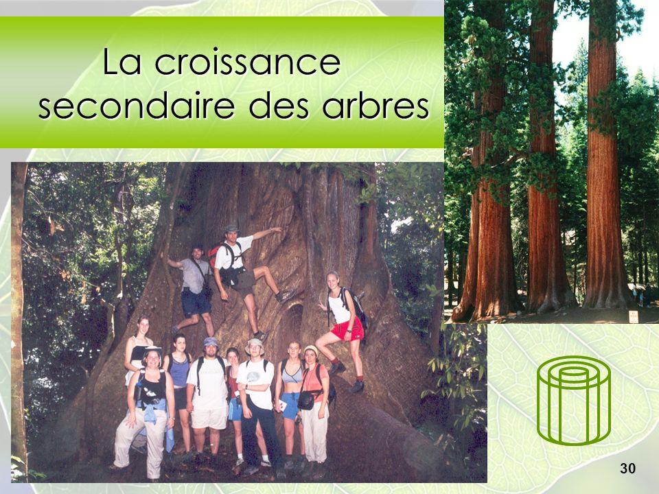 Collège Lionel-Groulx 30 La croissance secondaire des arbres