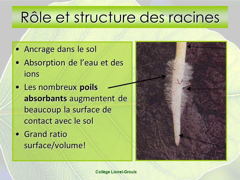 Rôle et structure des racines Ancrage dans le solAncrage dans le sol Absorption de leau et des ionsAbsorption de leau et des ions Les nombreux poils a