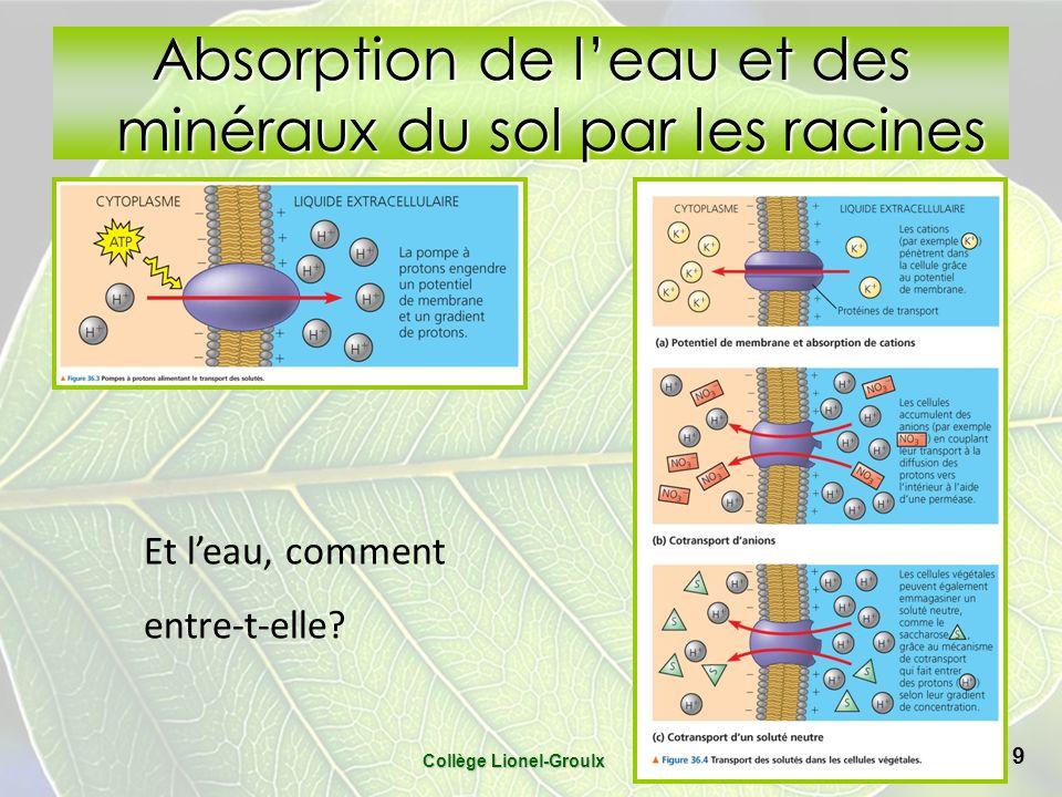 Absorption de leau et des minéraux du sol par les racines Collège Lionel-Groulx 9 Et leau, comment entre-t-elle?
