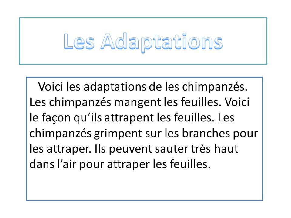 Voici les adaptations de les chimpanzés.Les chimpanzés mangent les feuilles.