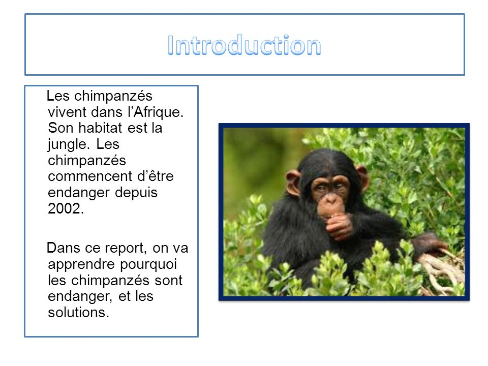 Les chimpanzés ont beaucoup de grand dangers.Voici certain dangers.