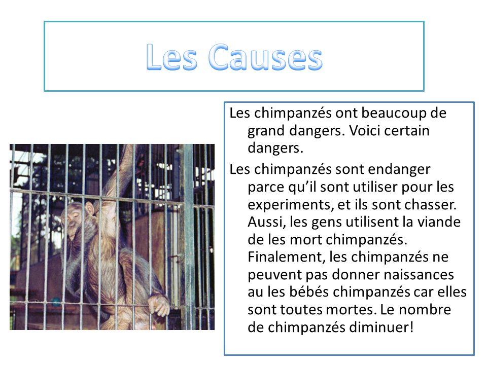 Les chimpanzés ont beaucoup de grand dangers.Voici certain dangers.