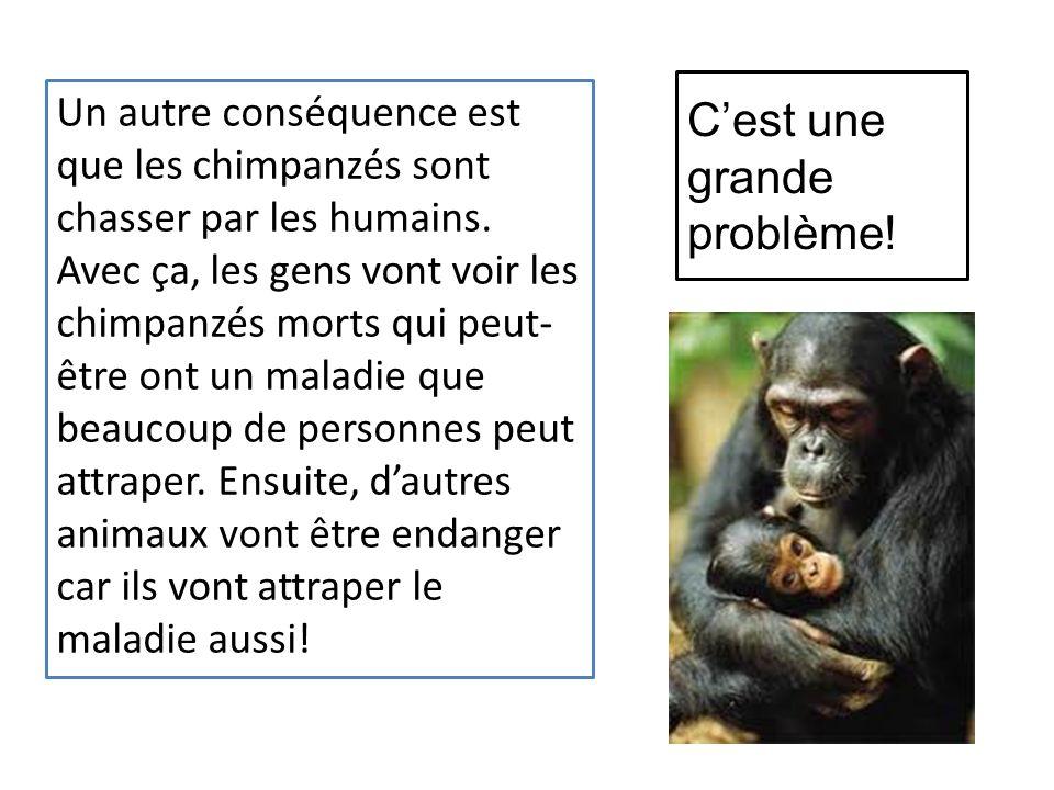 Cest une grande problème.Un autre conséquence est que les chimpanzés sont chasser par les humains.