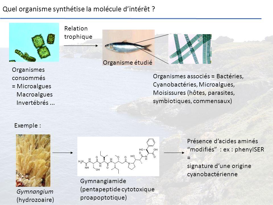 Quel organisme synthétise la molécule dintérêt ? Organisme étudié Organismes consommés = Microalgues Macroalgues Invertébrés... Gymnangiamide (pentape