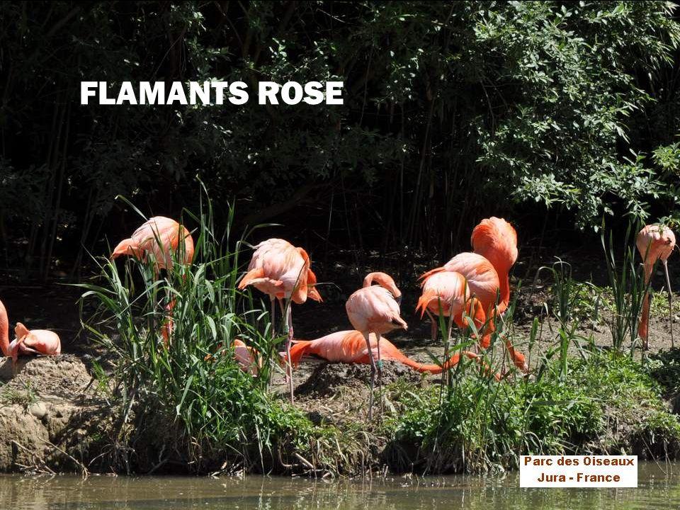 Encore un oiseau échassier, aux magnifiques plumes roses ou rouges (selon son pays dorigine) La race « rose » se rencontre dans le delta du Rhône, et en Camargue.