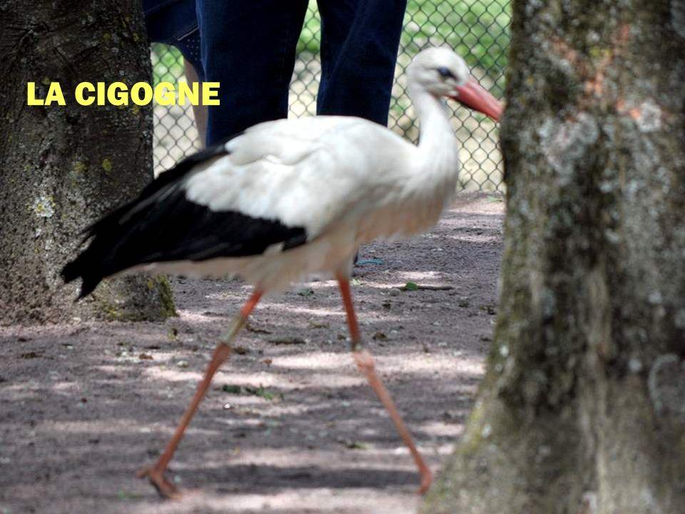 Encore un bel oiseau échassier, un oiseau migrateur.