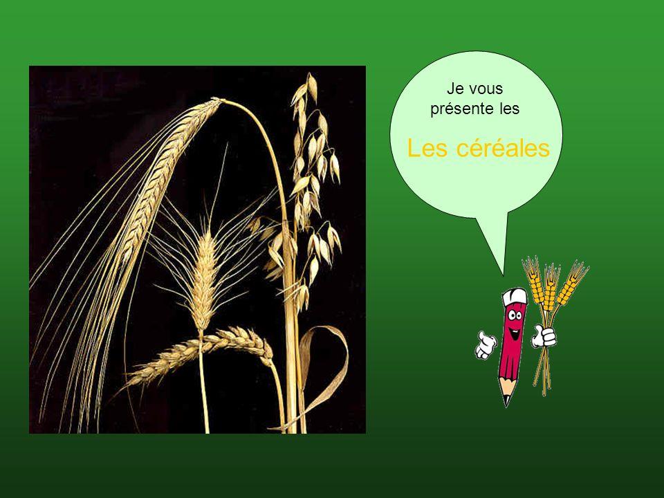 Millet ou mil Spécifications Terme générique pour une série de céréales à petits grains particulièrement riche en acide silicique Utilisations Les grains polis sans gluten(protéine) sont appelés millet doré