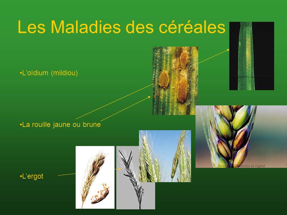 Les Maladies des céréales Loïdium (mildiou) La rouille jaune ou brune Lergot