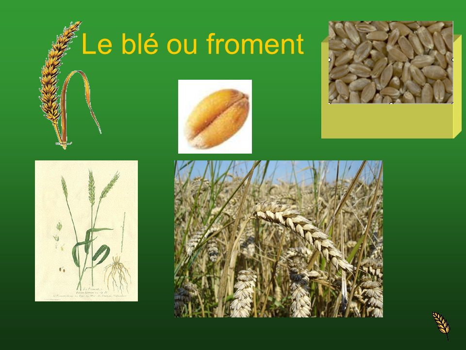Spécifications Sans soute la céréale la plus ancienne cultivée par lêtre humain.