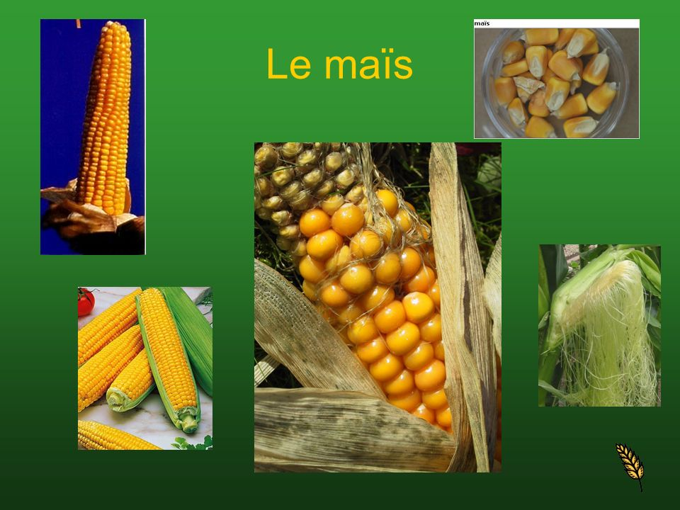 Spécifications En Suisse, les grains narrivent à maturation que dans les régions à climat chaud et doux.