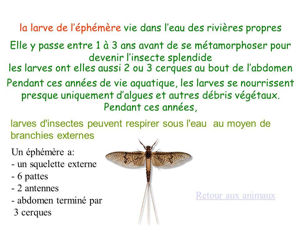larves d'insectes peuvent respirer sous l'eau au moyen de branchies externes la larve de léphémère vie dans leau des rivières propres Elle y passe ent