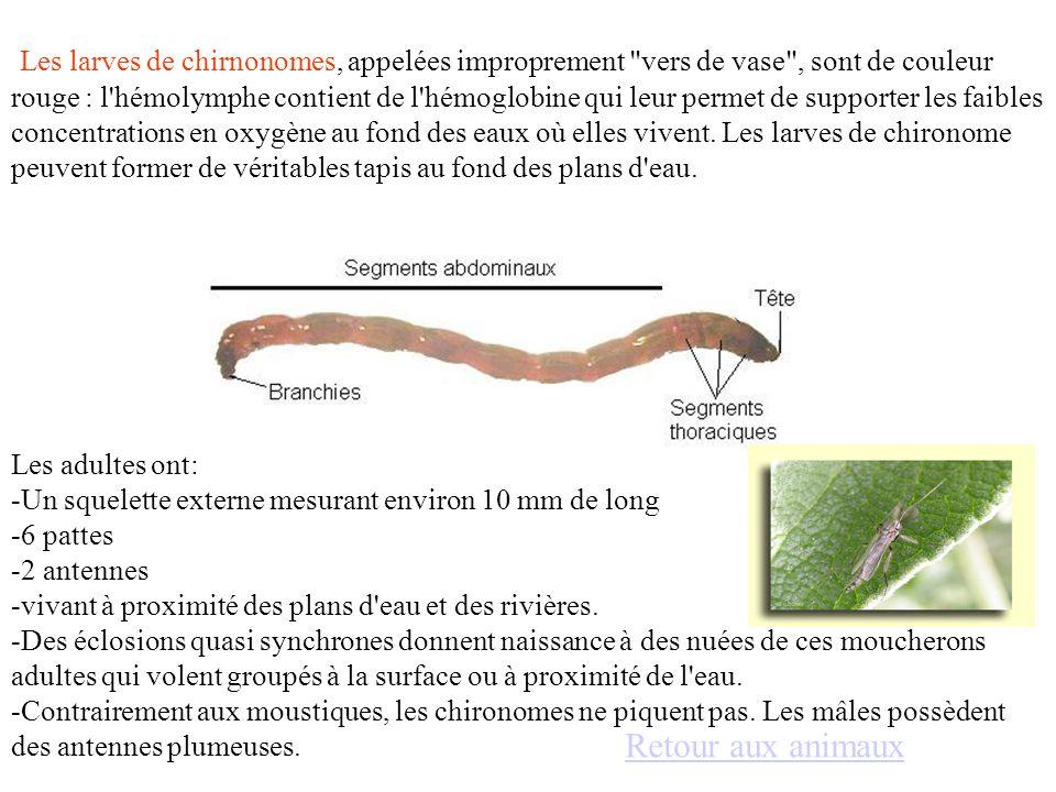 Les larves de chirnonomes, appelées improprement