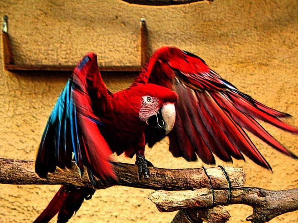 Le perroquet joue un rôle important dans son habitat en aidant à propager la forêt.