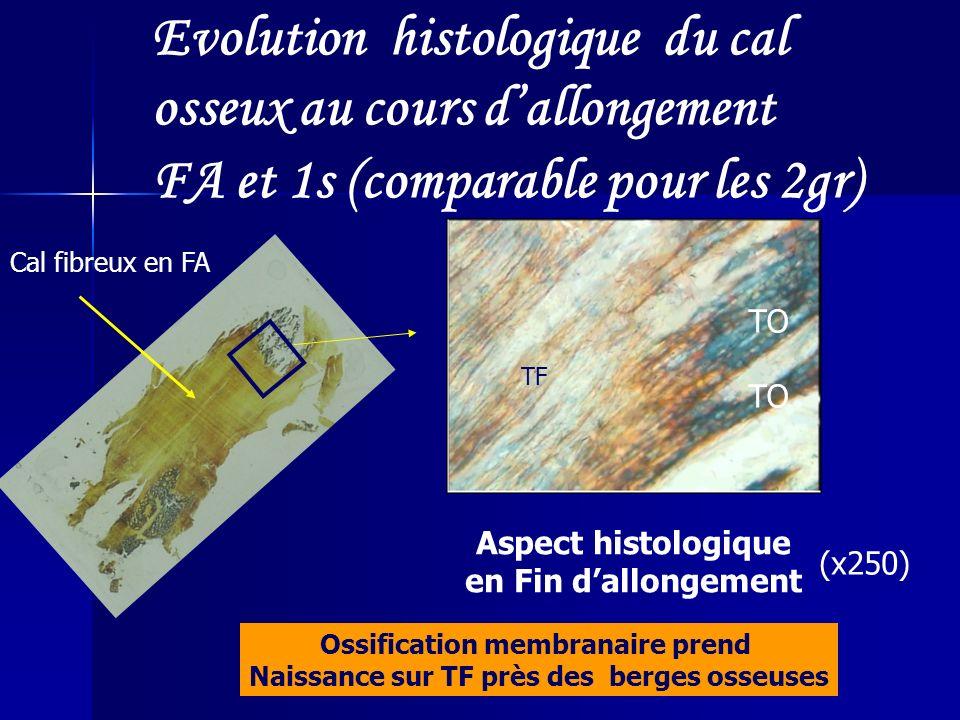 Evolution histologique du cal osseux au cours dallongement FA et 1s (comparable pour les 2gr) Aspect histologique en Fin dallongement TF TO Ossificati