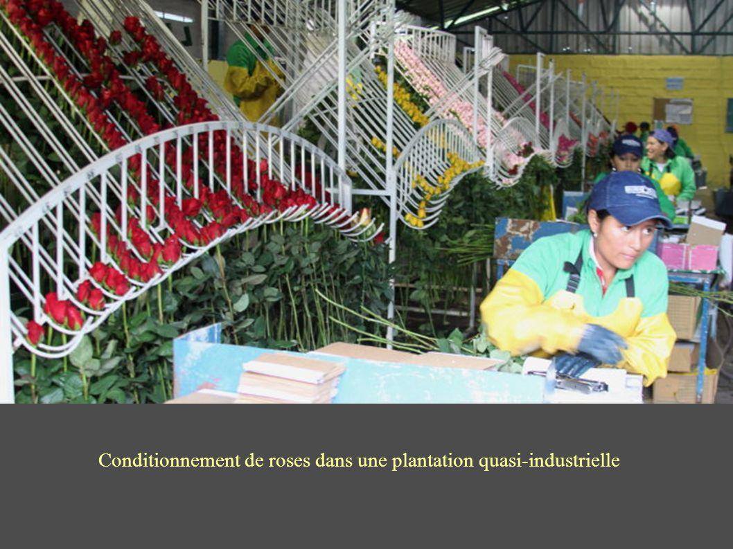 Conditionnement de roses dans une plantation quasi-industrielle