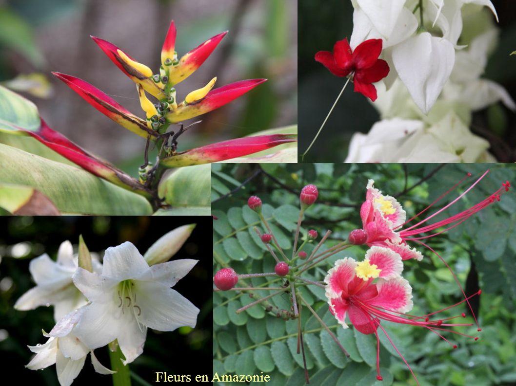 Fleurs en Amazonie