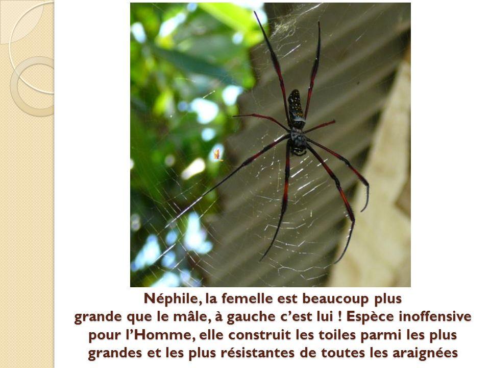 Néphile, la femelle est beaucoup plus grande que le mâle, à gauche cest lui .