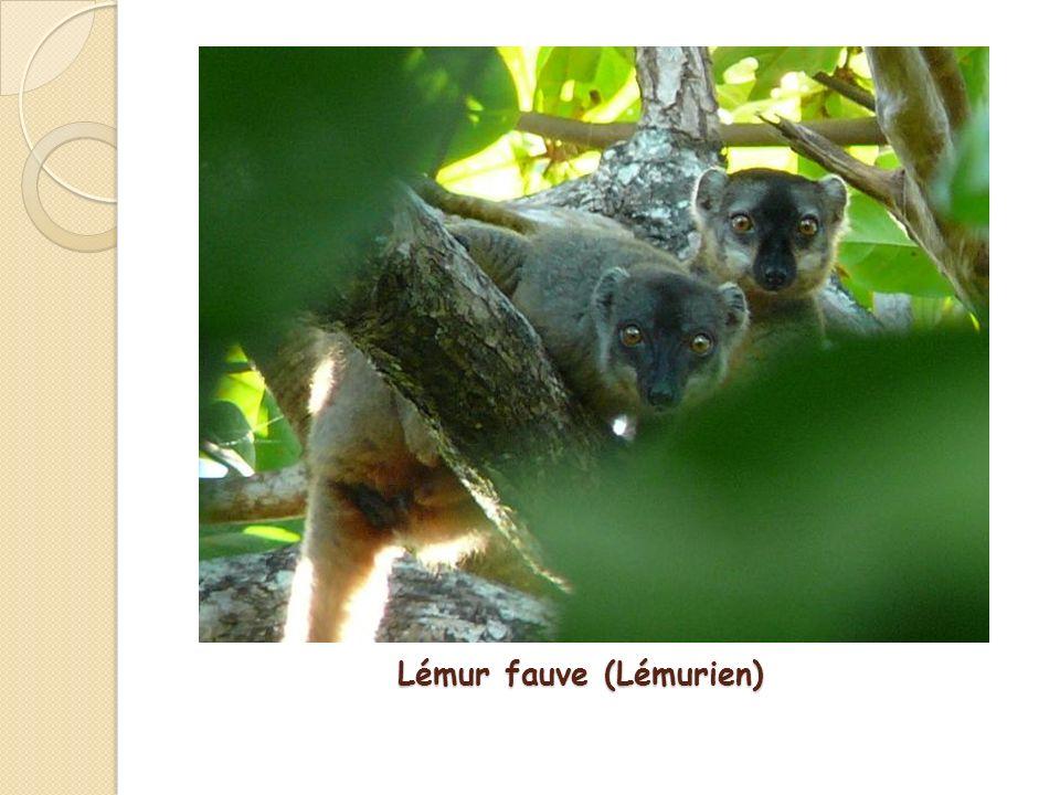 Lémur fauve (Lémurien)