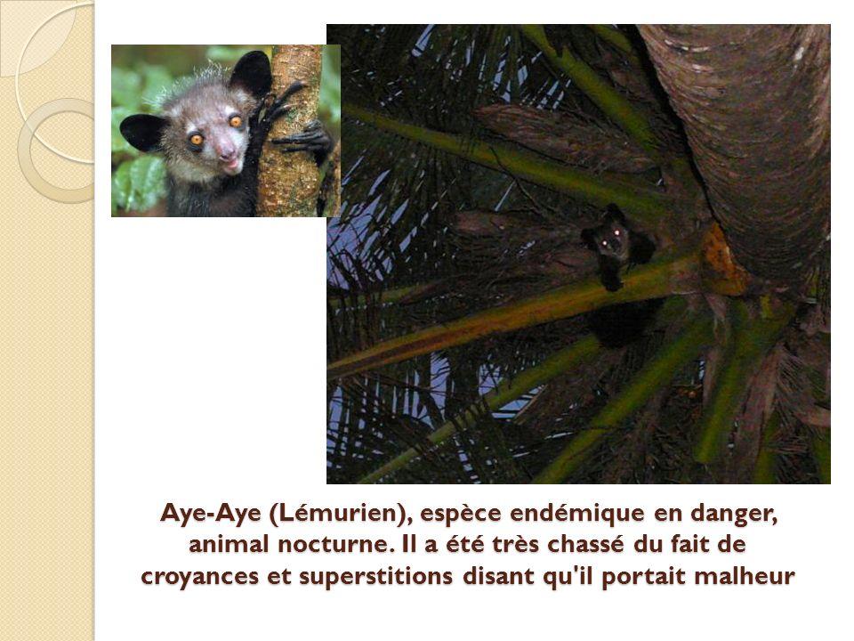 Aye-Aye (Lémurien), espèce endémique en danger, animal nocturne.
