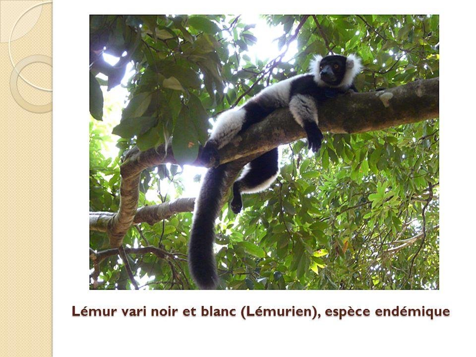 Lémur vari noir et blanc (Lémurien), espèce endémique