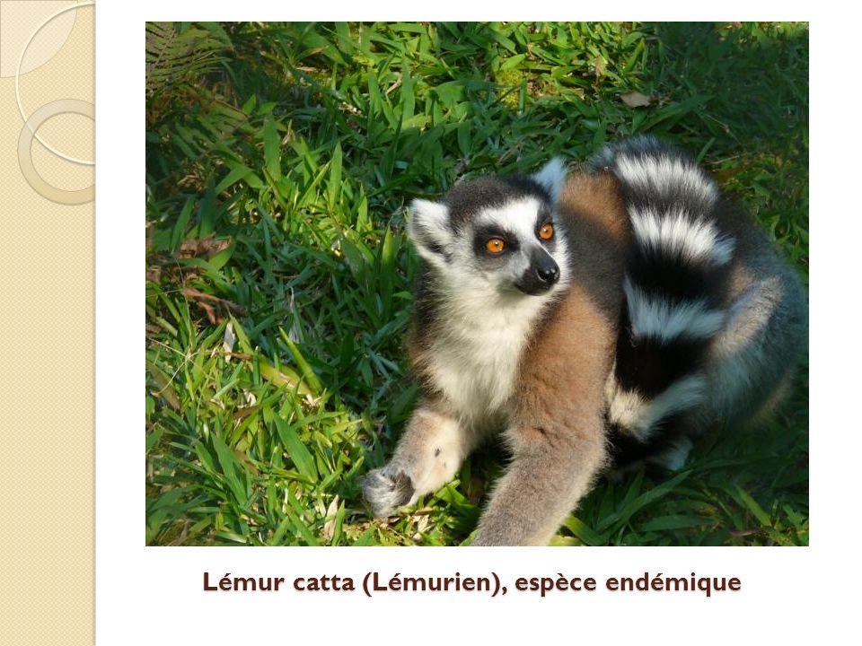Lémur catta (Lémurien), espèce endémique