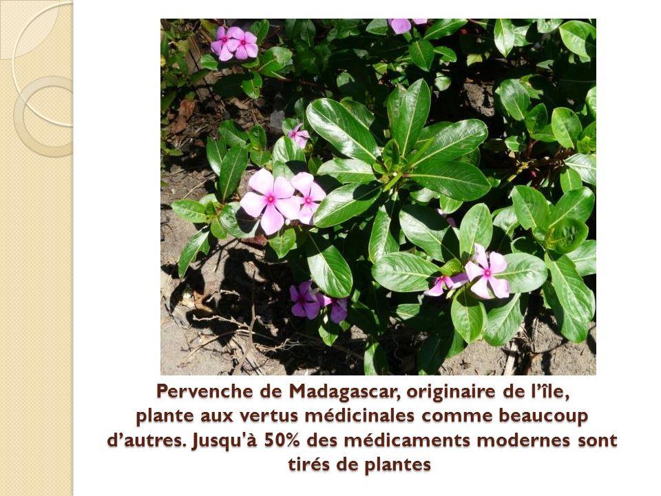 Pervenche de Madagascar, originaire de lîle, plante aux vertus médicinales comme beaucoup dautres.